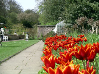 Queen of Sheba Tulips, Wallington