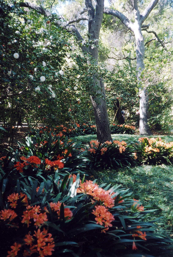 Clivia, Camellias and Oaks at Descanso Gardens