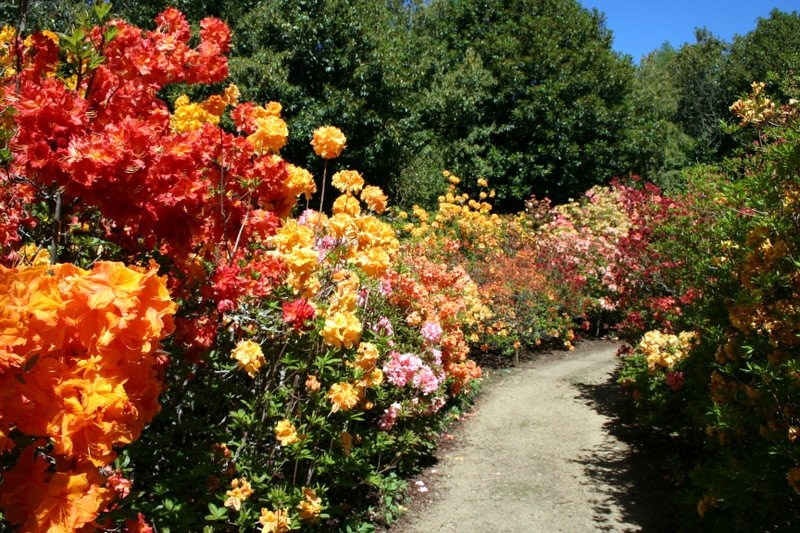 Azalea Walk, Cross Hills Garden