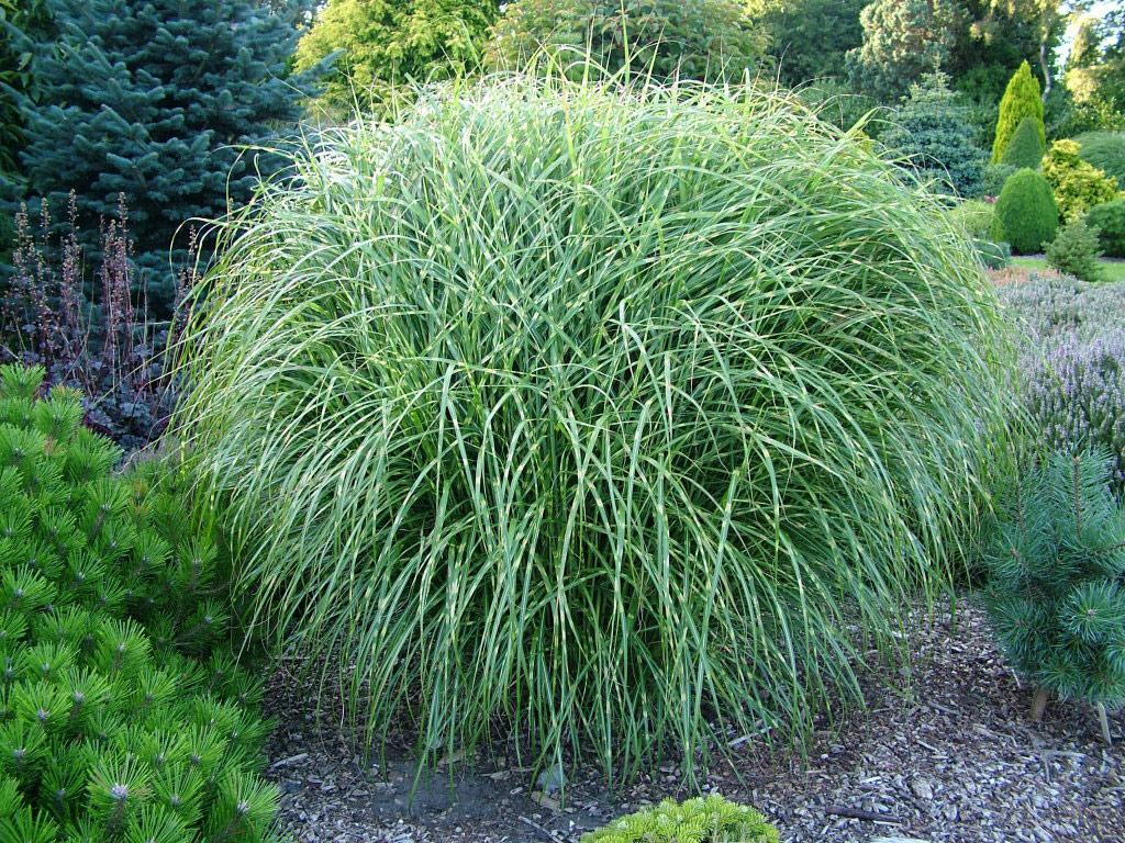 Maiden Grass Botanical