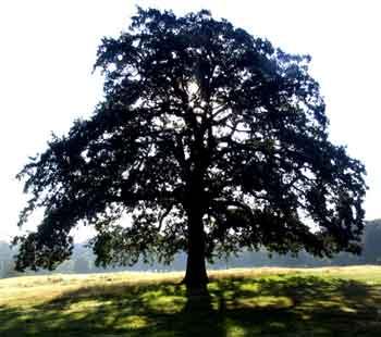 Sacred Trees | GardenVisit.com, the garden landscape guide